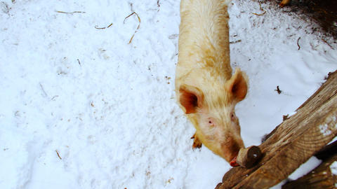 Two curious pigs are walking in the paddock. Winte Stock Video Footage