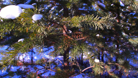 Motion shot of pine tree in the winter snowy fores Footage