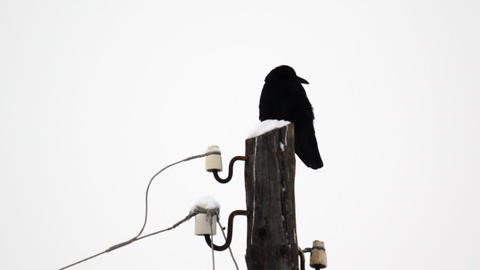 Raven sitting on a snow-covered wooden pole during Stock Video Footage