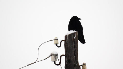 Raven sitting on a snow-covered wooden pole during Footage