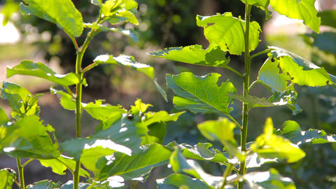 Green leaves of poplar tree swaying in the wind Stock Video Footage