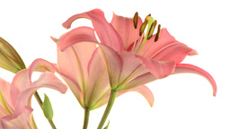 Pink Lilies stock footage
