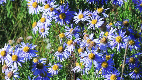 Blue chamomile flowers Stock Video Footage