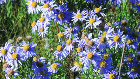 Blue chamomile flowers Footage