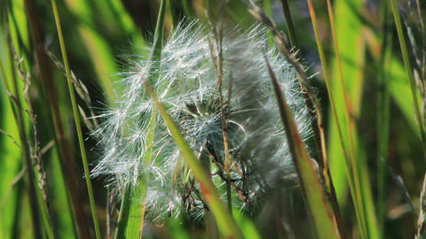 Spring dandelion on natural background Stock Video Footage