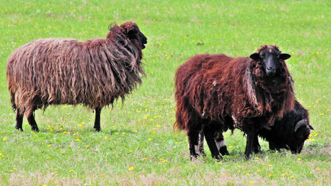 Shetland Sheeps grazing in the meadow Stock Video Footage