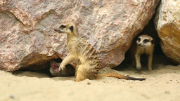 Meerkats Stock Video Footage