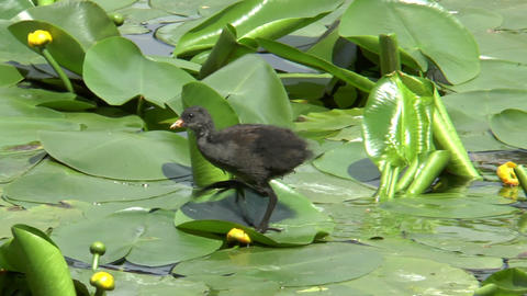 Young Common Moorhen (gallinula chloropus) Stock Video Footage