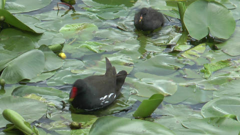 moorhen with baby closeup Stock Video Footage