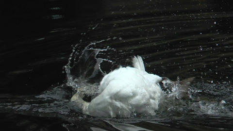 white swan cleaning his plumage in water Stock Video Footage