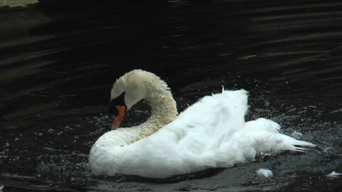 white swan cleaning his plumage in water Footage