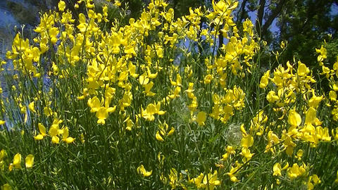 Broom Flowers Stock Video Footage