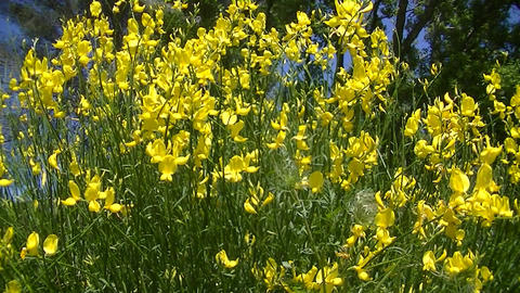 Broom Flowers Stock Video Footage