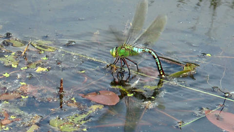 big dragonfly laying eggs side view Stock Video Footage