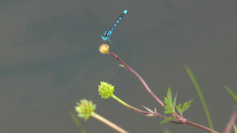 black dragonflys mating on blossom of a white nymp Footage