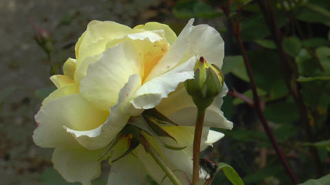 blossom of yellow rose closeup Footage