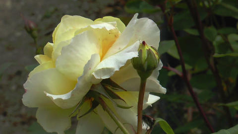 blossom of yellow rose closeup Stock Video Footage