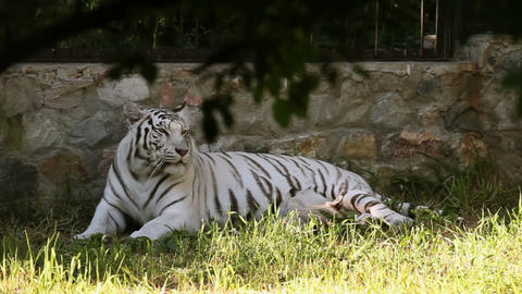 White tigress Live Action