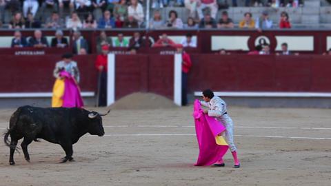 Bull on lap Footage