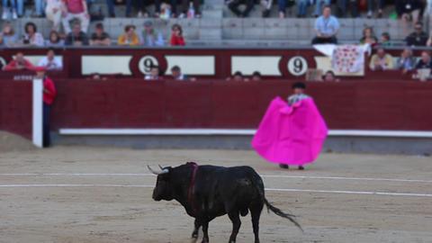 Bull on lap Stock Video Footage