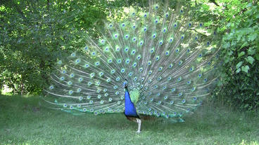 Blue Peacock Flutters Open Feathers Stock Video Footage