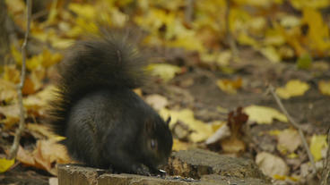 Fat Autumn Squirrel Eating 24P Stock Video Footage