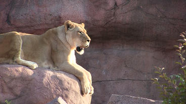 Toronto Zoo Lion Jerroh Sneezes and Yawns Stock Video Footage