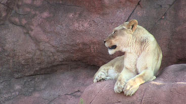 Toronto Zoo Lion Jerroh Yawns and Licks Lips Stock Video Footage