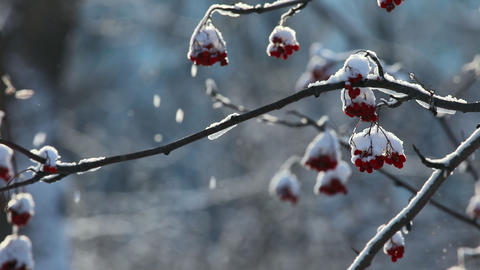 Snowy ashberry Stock Video Footage