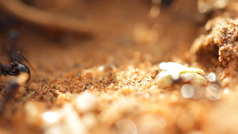 small Ants walking ant insect working building tro Stock Video Footage