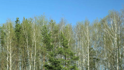 Birch trees Stock Video Footage