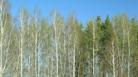 Birch trees Stock Video Footage