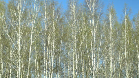 Birch trees Footage