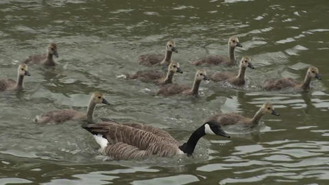 A flock of ducks follow their mother across a pond Stock Video Footage