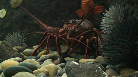 Underwater shot of a lobster Footage