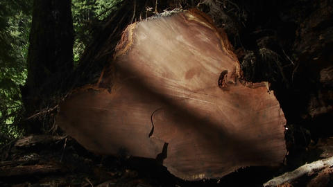 A felled tree with many tree rings in the forest Footage