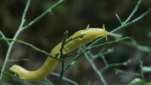 A banana slug crawls on a tree Footage