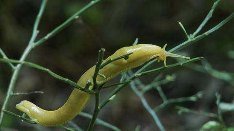 A banana slug crawls on a tree Stock Video Footage