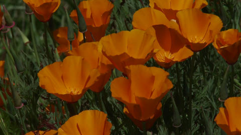 California poppy plants grow amongst green grass Footage