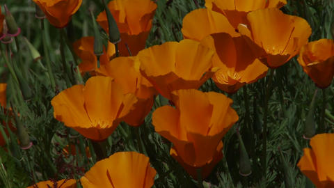 California poppy plants grow amongst green grass Stock Video Footage
