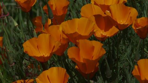 California poppy plants grow amongst green grass Stock Video Footage