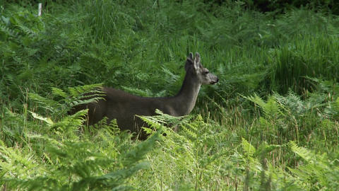A deer in tall green grass Stock Video Footage
