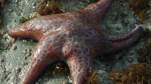 An orange red starfish in a tidepool in Northern C Footage