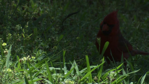 A red cardinal bird hops on the ground Stock Video Footage