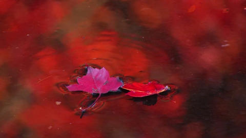 A red leaf floats down a stream Stock Video Footage