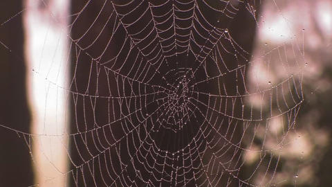 A spider weaves its web in golden morning light Stock Video Footage