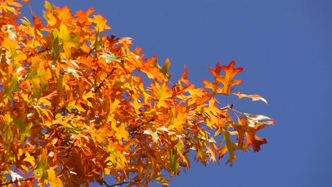 Vivid autumn colors light up the trees Footage