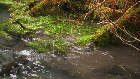 Otters frolic in a freshwater stream Footage