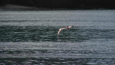 A pelican flies in slow motion over the ocean Footage