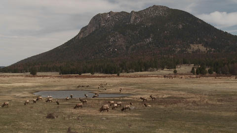 Elk grazing in a field in the distance in Yellowst Stock Video Footage